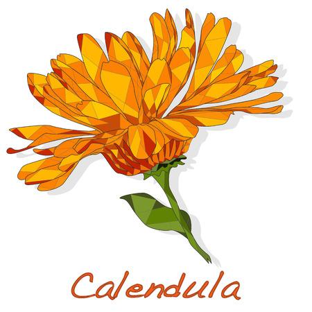 Calendula. Medical herb vector illustration isolated on white.Polygonal. Ilustracja
