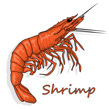 Cooked prawn or tiger shrimp vector illustration isolated on white background as package design element. Vectores