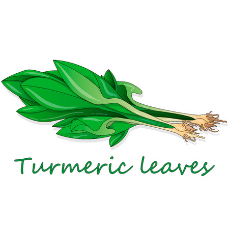 Green leaves of turmeric (Curcuma longa) ginger medicinal herbal plant vector illustration isolated on white background.