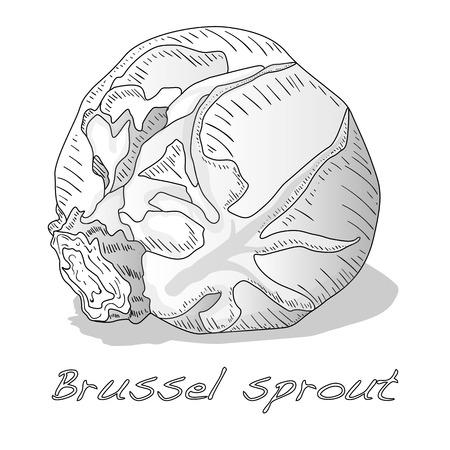 Brussel sprou tvector illustration. White background.