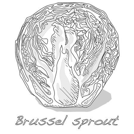 Brussel sprou tvector illustration. White background. Foto de archivo - 124529866