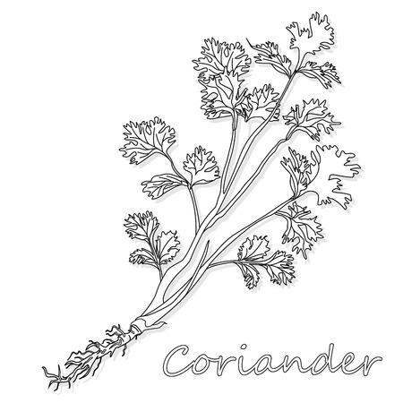 Coriandre fraîche ou herbe de coriandre. Illustration vectorielle isolée.