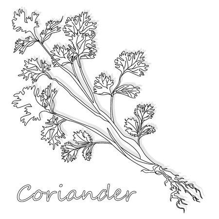 Coriandolo fresco o erba coriandolo. Illustrazione vettoriale isolato. Vettoriali