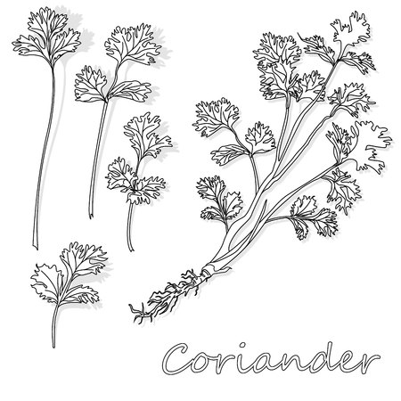 Fresh coriander or cilantro herb. Vector illustration isolated.