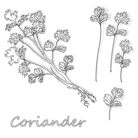 Fresh coriander or cilantro herb. Vector illustration isolated. Vettoriali