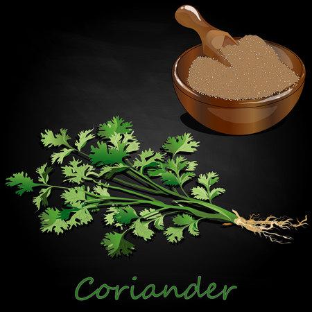 Fresh coriander or cilantro herb.Coriander powder in the cup. Vector illustration isolated. Vettoriali