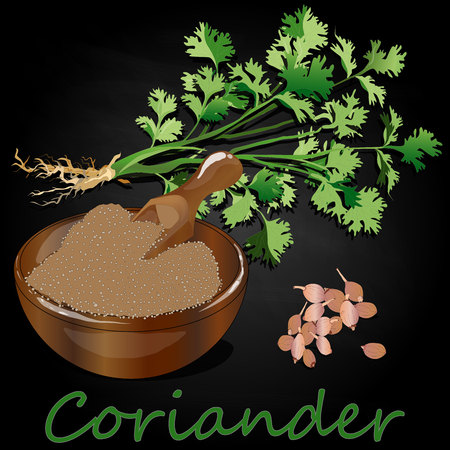 Fresh coriander or cilantro herb.Coriander powder in the cup. Vector illustration isolated.