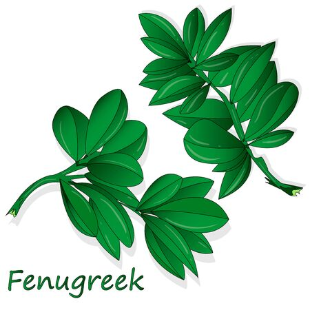 Methi, fenugreek leaves vector illustration on white background. isolated image. 일러스트