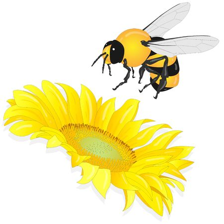 Sunflower with bee on white background.  Agriculture farming plant. Vector image.