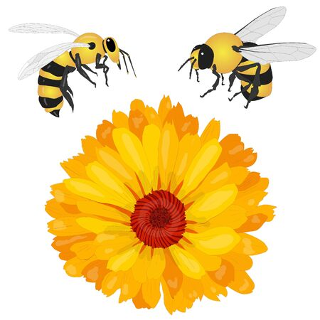 Beautiful blossoming yellow marigold with honey bee on white background. Calendula officinalis. Vector illustration.