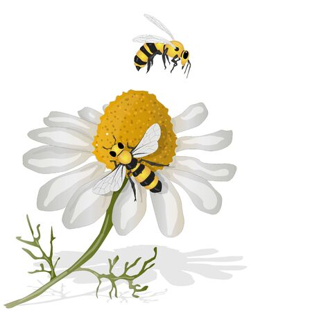 Beautiful chamomile flowers on white background. Vector illustration of medical herb with honey bee.