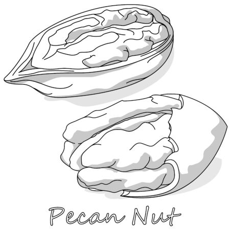 Pecan nut isolated on white background. Vector illustration. Monochrome pecan image.