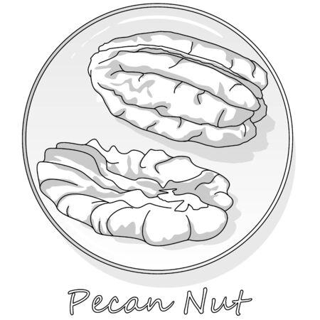 Pecan nut isolated on white background. Vector illustration. Monochrome pecan image.
