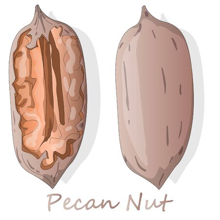 Pecan nut isolated on white background. Vector illustration.