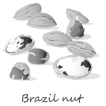 Bertholletia. Brazil nuts vector illustration on white close up.