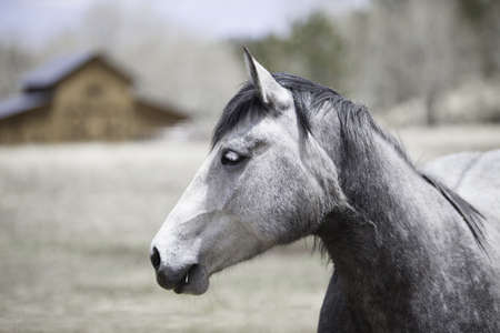withe: withe horse with blured barn as background Stock Photo