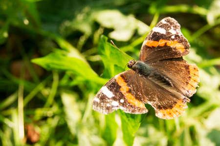 Monarch butterfly Danaus plexippus on orange garden flowers during autumn migration. Natural green background. Stock Photo