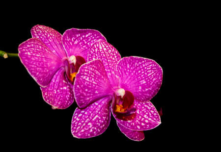 red orchid: Orchid. Red orchid. Orchid is queen of flowers. Orchid in tropical garden. Orchid in nature. Orchid, orchid, orchid, orchid Stock Photo