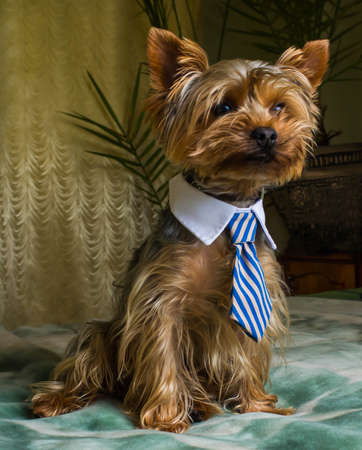 Beautiful Yorkshire terrier playing pet, friendly, playing, dog, garden, doggy Imagens