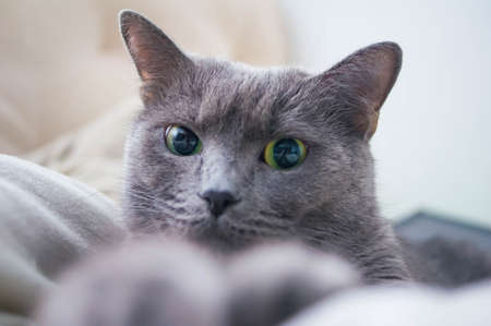 Russian Blue Cat beautiful cat portrait emotion happiness fluffy