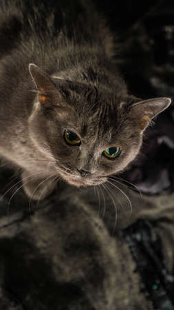 Beautiful russian blue cat with green eyes pose on the dark background Imagens