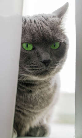 Beautiful russian blue cat with green eyes pose on the dark background cat on the window the cat is looking through the gap