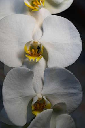 Orhid flowers on the black background queen fresh splash elegant exotic, flora