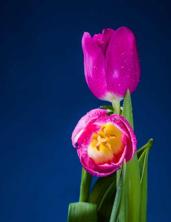 Levitating purple tulips against old concrete background water splash fresh movement drops