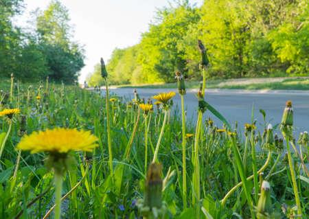 Dandelion weeds growing in the gutter of a road