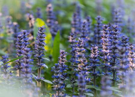 Lavender flowers lavandin, lavandula, picturesque, provence, scented, valensole, mountain
