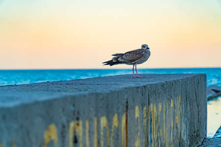 albatross seagull on the sea pier. background nature, ocean, pier, resort, sea seagull Imagens - 106446683