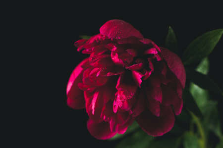 Red peony in a bottle with water. A still life on a black background