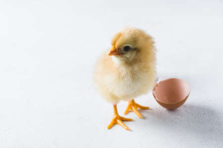 The hatched chicken and egg shell on a white background