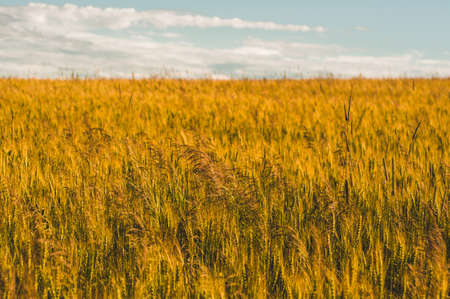 A wheat field, panoramic frame