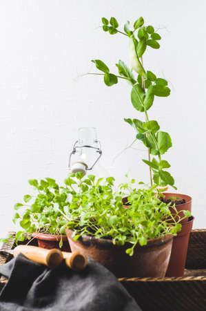 Sprouts of salad and peas in pots against the background of a white concrete wall. Home farm concept