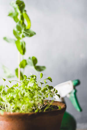 Sprouts of salad and peas in pots against the background of a gray concrete wall. Home farm concept