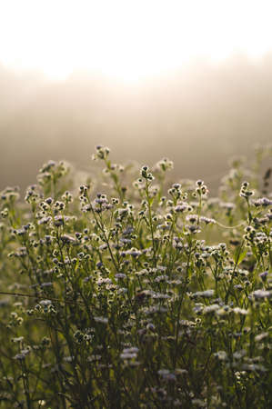 Morning landscape and white wild flowers