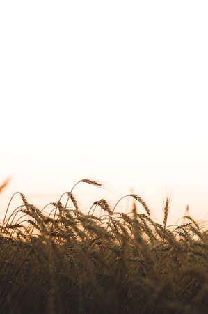 Weizenfeld im Sonnenlicht . Ernte oder Bauernhof Konzept Standard-Bild - 84394167