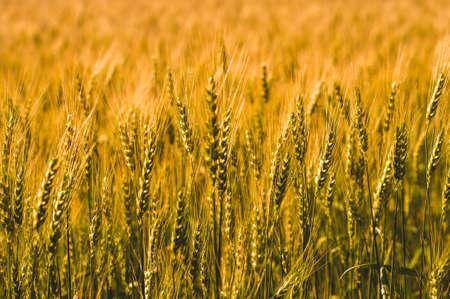 Wheat field in sunlight
