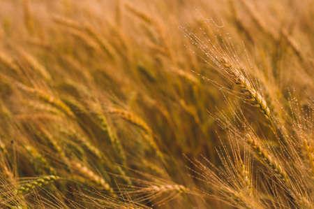 Weizenfeld im Sonnenlicht. Ernte oder Farm-Konzept Standard-Bild - 84394084