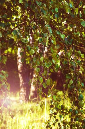 白樺の緑の背景の小枝、葉 写真素材