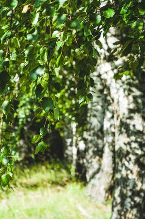 자작 나무 나뭇 가지와 잎으로 만든 녹색 배경