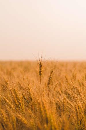 Wheat field in sunlight. Harvest or farm concept Stock Photo