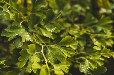 Water drops close up on green leaves of a Ginkgo tree Stock Photo
