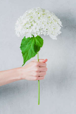 Female hand holding white flower on grey background