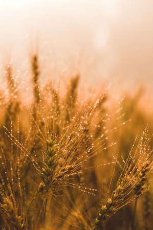 햇빛에 밀 필드입니다. 수확 또는 농장 개념