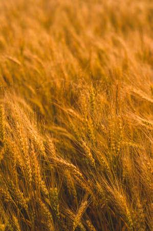 Weizenfeld im Sonnenlicht. Ernte oder Farm-Konzept Standard-Bild - 85275641