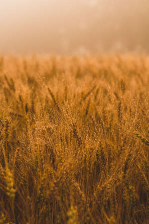 Wheat field in sunlight. Harvest or farm concept Stock Photo