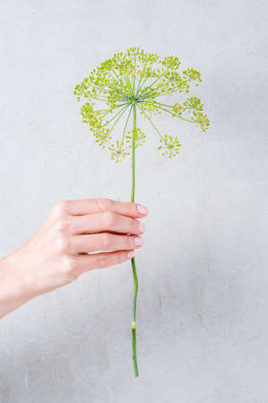 Female hand holding an inflorescence of dill on gray background