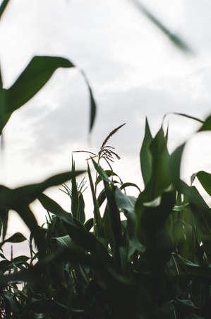 햇빛에 옥수수 밭입니다. 수확 또는 농장 개념 스톡 콘텐츠